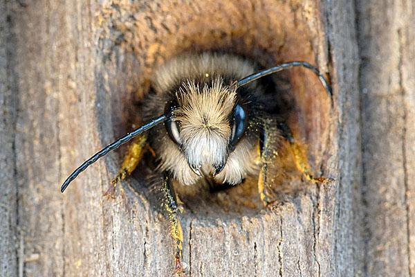 Die ersten wilden Bienen sind unterwegs